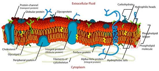 Struktur Dan Karakteristik Sel Eukariotik Tentorku