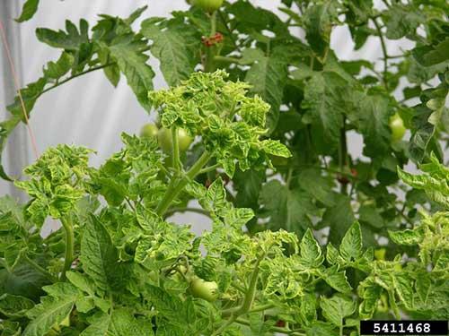 Virus Penyebab Penyakit Pada Tumbuhan Tentorku