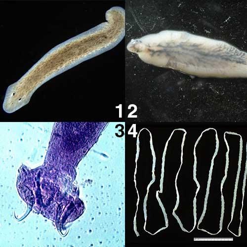 Nemathelminthes phylum reproduksi
