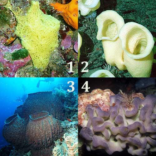 Filum Porifera Hewan Berpori Tentorku