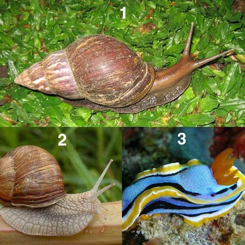 Karakteristik Dan Klasifikasi Kelas Gastropoda Tentorku