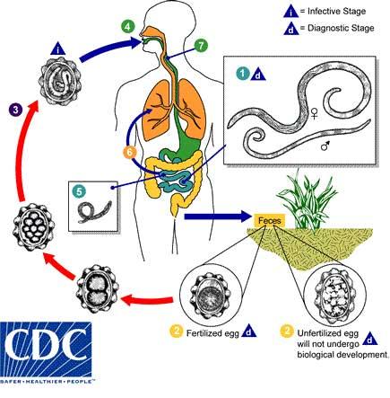 reproduksi cacing nemathelminthes)