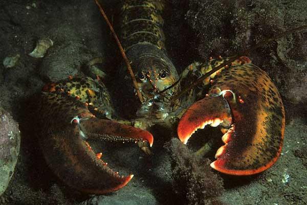 Crustacea / Krustasea | Pengertian , Ciri - Ciri , Klasfikasi , Struktur Tubuh , Reproduksi , Respirasi , Sirkulasi , Ekskresi dan Manfaat pada manusia